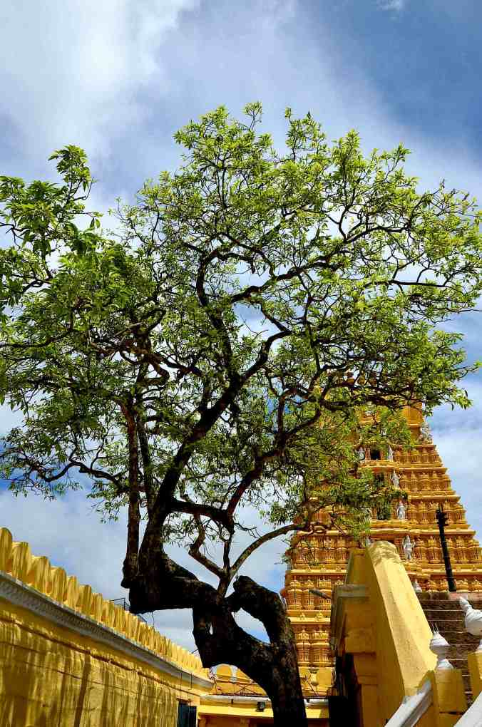 chamundi tree
