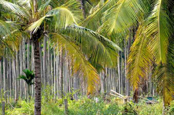 chocolate palms