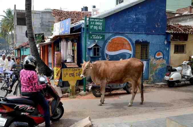 mysore vita mucca