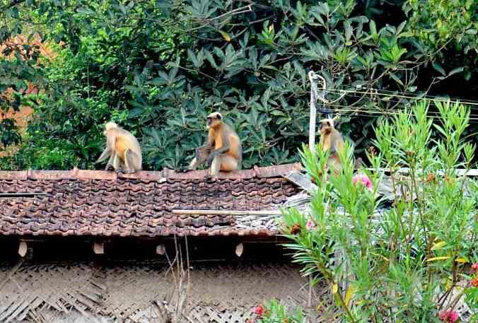 monkey gokarna2